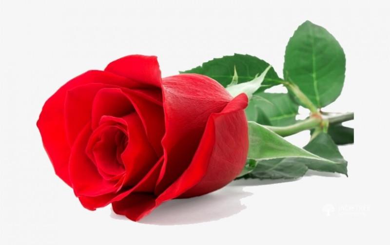 single-red-rose-big-0