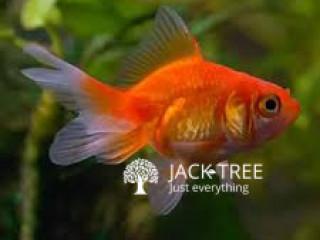 Gold Fishes (Goldfish ජෝඩු 2,. ජෝඩුවක් 700 ගානේ. Breeding size