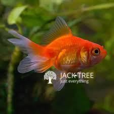 gold-fishes-goldfish-2-700-breeding-size-big-0