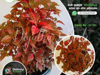 Diyatha Plants Home & garden website (plants for home )