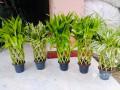 sendriyana-bmbo-plants-for-sale-for-sale-in-srilanka-small-0