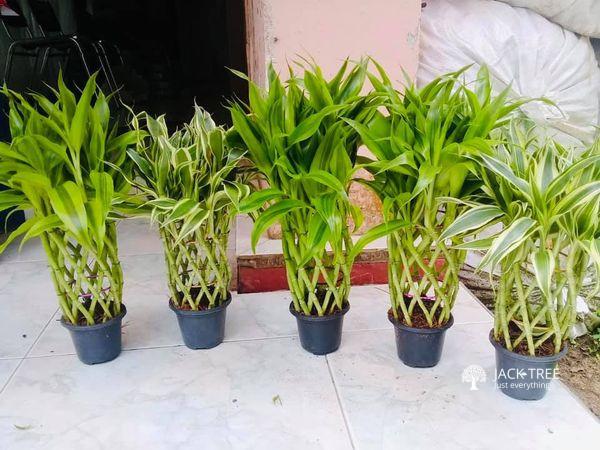 sendriyana-bmbo-plants-for-sale-for-sale-in-srilanka-big-0
