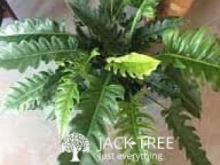 JUNGLE BOOGIE PLANT OF COLOMBO SRILANKA (INDOOR PLANT)