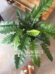 jungle-boogie-plant-of-colombo-srilanka-indoor-plant-big-0