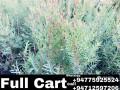 himalayan-cedar-small-0