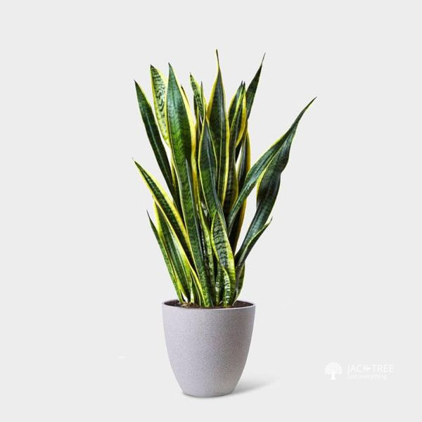 snake-plant-indoor-or-outdoor-plants-sale-big-0