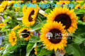 helianthus-big-smile-hybrid-seeds-blooming-agro-products-small-0