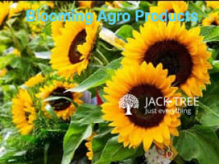Helianthus Big Smile hybrid seeds Blooming Agro Products