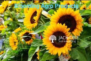helianthus-big-smile-hybrid-seeds-blooming-agro-products-big-0