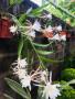 epiphyllum-oxypetalum-small-0