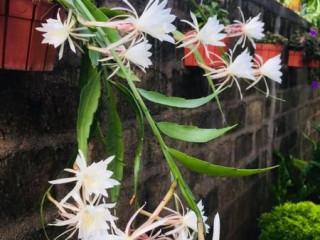 Epiphyllum oxypetalum දවල්ට පිපෙන බැංකොක් කඩුපුල්