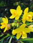 big-yellow-ground-orchid-plants-for-sale-in-sri-lanka-small-0