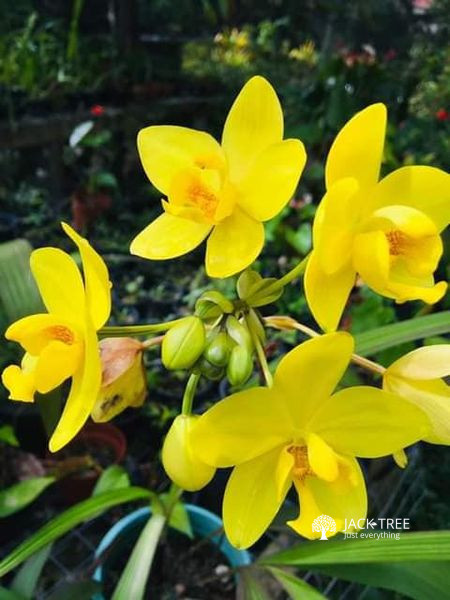 big-yellow-ground-orchid-plants-for-sale-in-sri-lanka-big-0