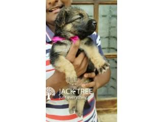 German Sheperd (Long Coat) Puppies