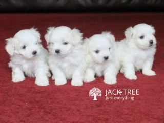 Lovely maltes Pups Fully Health Tested