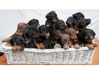 Doberman Dog Pups for Sale