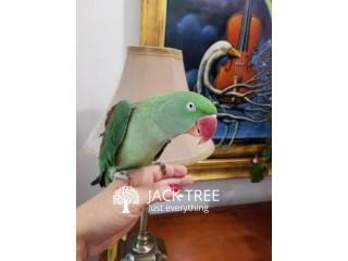 Ringneck Alexandrine Parakeets For Sale