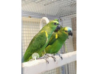 Double Yellow-Headed Amazon Parrots
