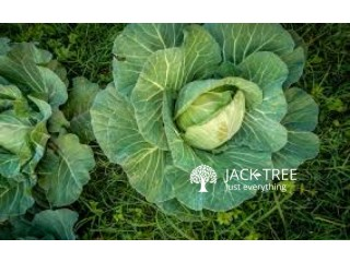 Hybrid Cabbage plant for sale