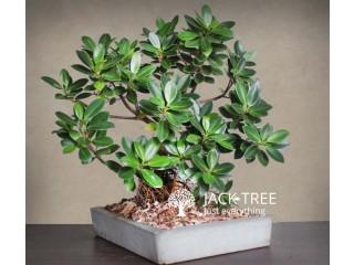 Nuga Bonsai plant for sale