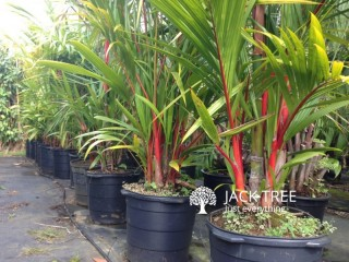 Red Palm Tree Plants for sale