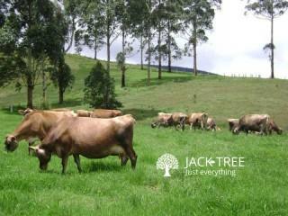 Cow Jersey Saifa