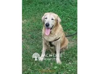 Labrador Dog for Crossing