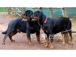 Rottweiler Dogs for Crossing