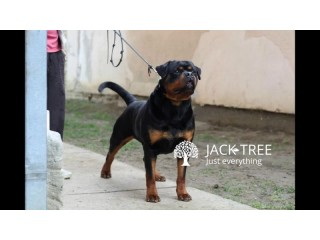 Rottweiler Serbian Dog