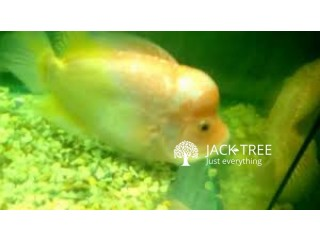 Flowerhorn golden bass sale