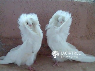 Sale for Fancy Pigeons