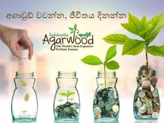 Agarwood Plant Nursery