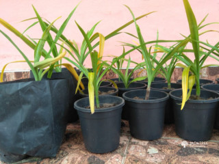 Saddika Plants