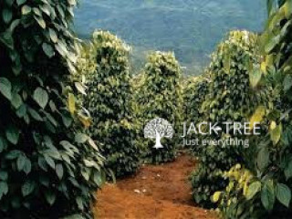 Black Pepper Plant ගම්මිරිස් පැල