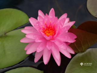 Bangkok lotus Bangkok lotus