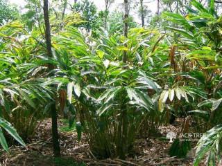 True Cardamom Plant