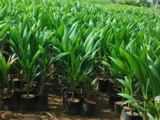 පොල් පැල Coconut Plant
