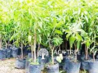 අඹ පැල - Mango Plants