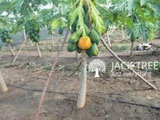 Red Lady Papaya plants - රෙඩ් ලේඩි ගස්ලබු පැල