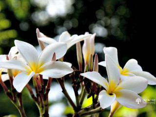 Plumeria Obtusa / Temple Tree