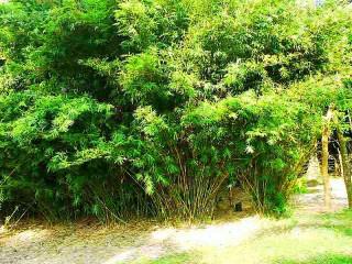 Bambusa Textilis / Graceful Bamboo